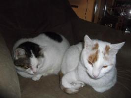 2 Hauskatzen