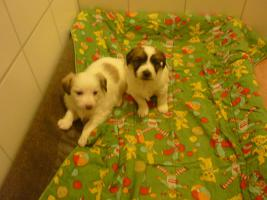 2 Hundewelpen