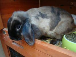 2 Jahre alte Kaninchenweibchen Satinwidder abzugeben