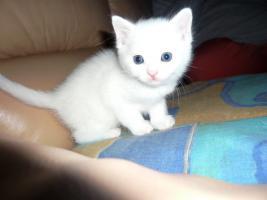 Foto 3 2 Junge Bombay/BKH-mix Kätzchen