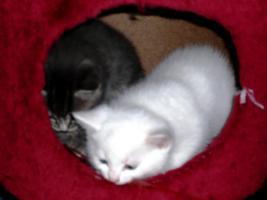 Foto 4 2 Junge Bombay/BKH-mix Kätzchen