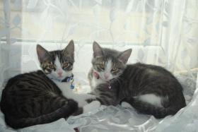 Foto 7 2 Kätzchen suchen ein liebevolles zuhause 13-15 Wochen jung