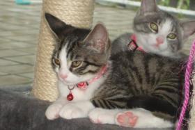 Foto 8 2 Kätzchen suchen ein liebevolles zuhause 13-15 Wochen jung