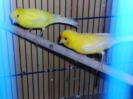 2 Kanarien Gelb Hähne aus 2012