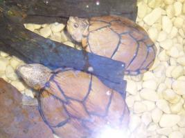 Foto 2 2 Kielrückenmoschusschildkröten mit Aquarium und Zubehör