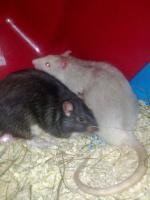 2 Männliche Ratten abzugeben!