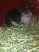 Foto 2 2 Männliche Ratten abzugeben!