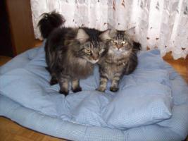 2 Main-Coon Katzen in gute Hände abzugeben