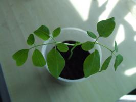 2 Meerrettichbäume! Schnell wachsende und gesunde Pflanze!