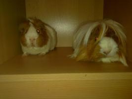 Foto 8 2 Meerschweinchen + Käfig