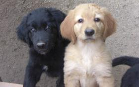 Foto 2 2 Rüden,12 Wo.junge Hundewelpen (Hovawart) suchen ein zu Hause