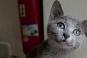 2 Russisch blaue Kitten suchen ein neues zu Hause