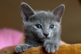 Foto 2 2 Russisch blaue Kitten suchen ein neues zu Hause