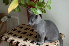 Foto 3 2 Russisch blaue Kitten suchen ein neues zu Hause