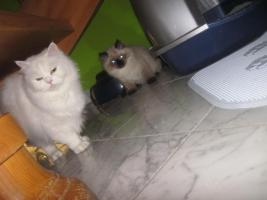 Foto 3 2 Süße Perserkätzchen