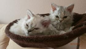 2 S��e Selkirk Rex Kitten suchen Kuschelplatz