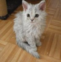 Foto 3 2 Süße Selkirk Rex Kitten suchen Kuschelplatz