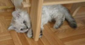 Foto 4 2 S��e Selkirk Rex Kitten suchen Kuschelplatz
