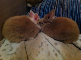 Foto 4 2 Süße Zwergkaninchen Babys zu vergeben.Braun/ weiß mit blauen Augen