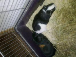 2 Süße meerschweinchen suchen ein neues Zuhause