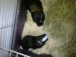 Foto 2 2 Süße meerschweinchen suchen ein neues Zuhause