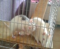 2 Super Süße Ratten