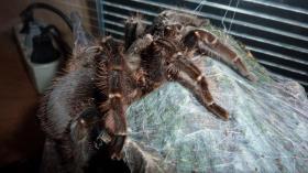 Foto 2 2 Vogelspinnen inkl. Terrarien und Zubehör günstig abzugeben