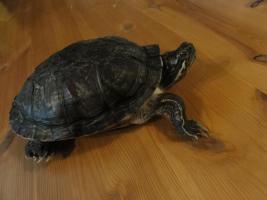 Foto 2 2 Wasserschildkröten inkl. Aquarium und viel Zubehör