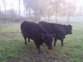 2 Welsh-Black