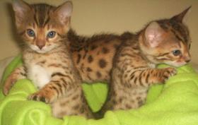 2 Wunderschöne Bengalkitten suchen neuen Dosenöffner