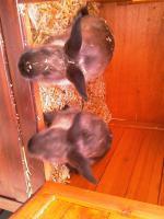 Foto 4 2 Zwergkaninchen 11 Wochen alt