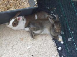 2 Zwergkaninchen zu verschenken ( 3 Monate alt)