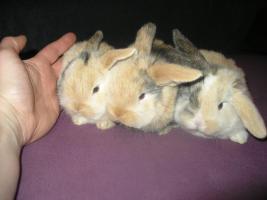 Foto 3 2 Zwergwidder Hasen + doppelstockkäfig zu verkaufen
