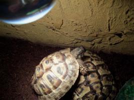 Foto 2 2 griechische Landschildkröte