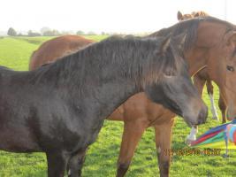 2-jähriger süsser, schwarzer Ponywallach