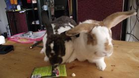 2 kastr. Kaninchen Böcke