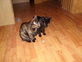 Foto 2 2 kastrierte liebe Haus-Katzen