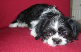 Foto 2 2 kleine niedliche Chihuahua Shih-Tzu Edelmix Welpen