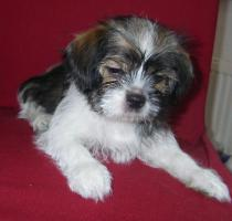 Foto 3 2 kleine niedliche Chihuahua Shih-Tzu Edelmix Welpen