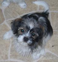 Foto 4 2 kleine niedliche Chihuahua Shih-Tzu Edelmix Welpen