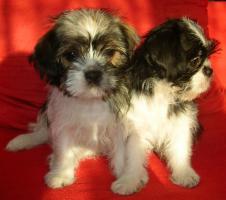 Foto 6 2 kleine niedliche Chihuahua Shih-Tzu Edelmix Welpen
