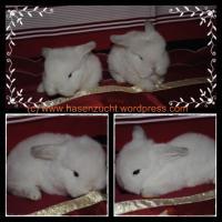 2 kleine, reine NHD Rasse-Kaninchen-Babys k�nnen bald ausziehen