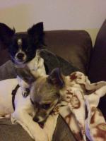 2 liebe Chihuahuam�dchen suchen neuen Kuschelplatz (Tierschutz)!