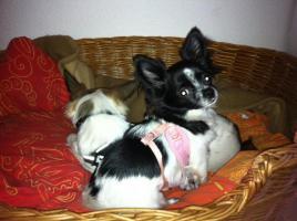 Foto 2 2 liebe Chihuahuam�dchen suchen neuen Kuschelplatz (Tierschutz)!