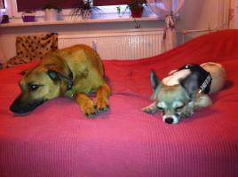 Foto 5 2 liebe Chihuahuamädchen suchen neuen Kuschelplatz (Tierschutz)!