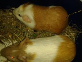 2 männliche Meerschweinchen+kafig und viel Zubehör