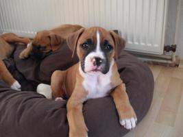 2 neun Wochen alte Boxer Welpen abzugeben!
