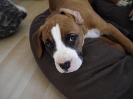 Foto 2 2 neun Wochen alte Boxer Welpen abzugeben!