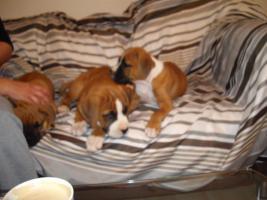 Foto 3 2 neun Wochen alte Boxer Welpen abzugeben!