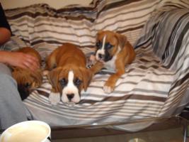 Foto 4 2 neun Wochen alte Boxer Welpen abzugeben!